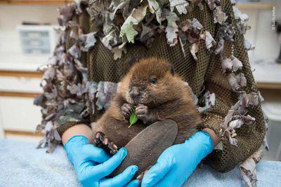 The Orphaned Beaver