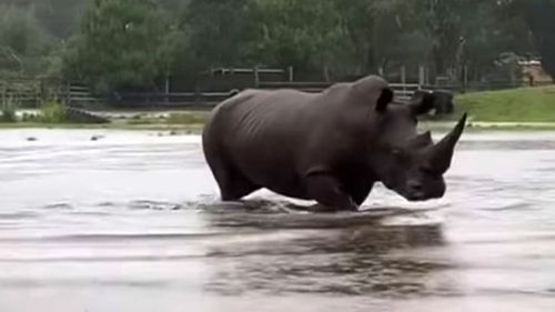 This rhino's enclosure is underwater at Mogo Zoo - which was almost destroyed by fire last year.