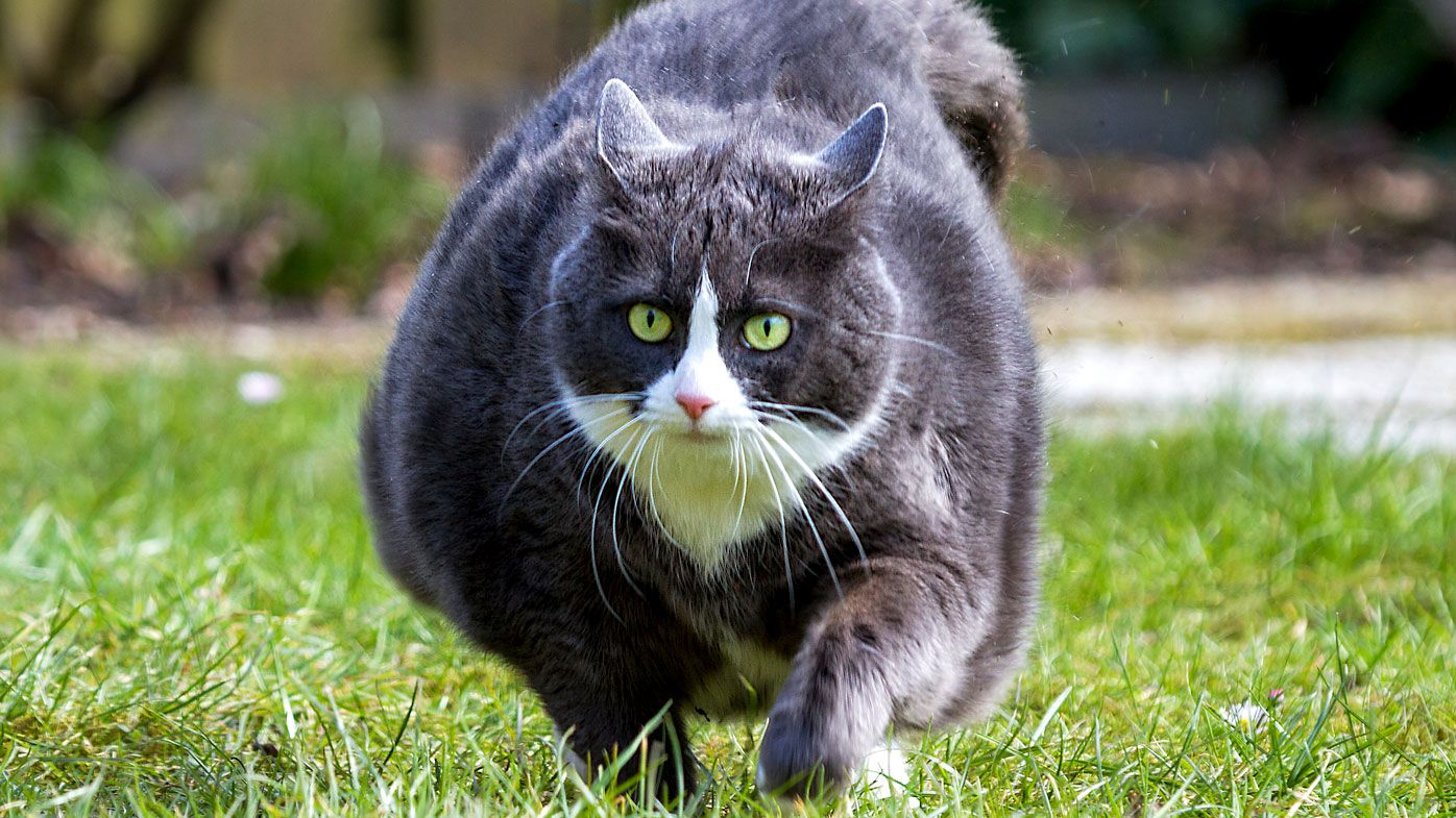R Nine T Owners >> How much overweight cats need to be fed to lose weight
