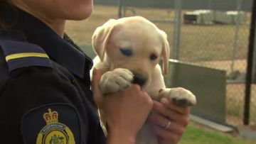 Adorable Border Force pups looking for foster homes
