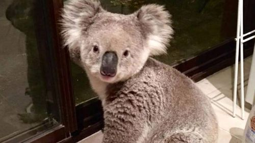 The koala was found by the owner of the Engadine home. (Twitter)