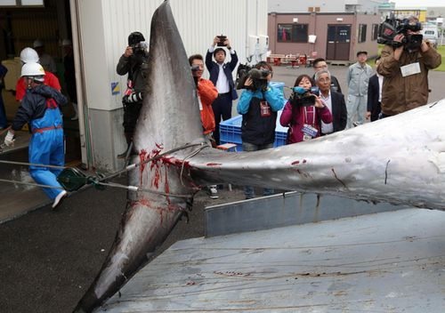 A minke whale is moved into a slaughterhouse after it was caught on the first day after the resumption of commercial whaling, in Kushiro, Hokkaido, Japan.