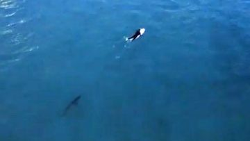 Shark lurks below unaware surfer on Bondi Beach
