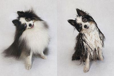 <p>Gizmo the Pomeranian</p>
