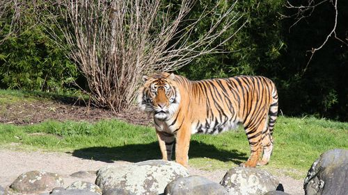 A zoo staff member said Oz was in his enclosure with another female lion when the fatal incident occurred. (Hamilton Zoo)