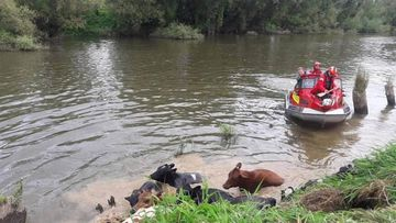 The Huntly rescue boat herds cows up the Waipā river bank.