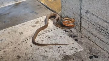 This eastern brown snake was found at a busy shopping centre.