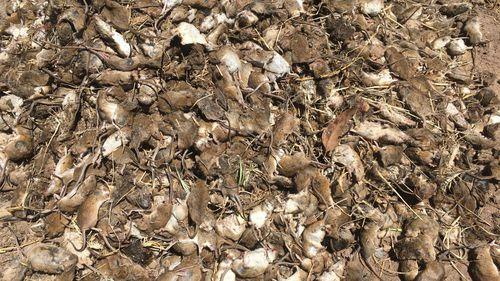 Hundreds more mice in Gilandra. mice plague