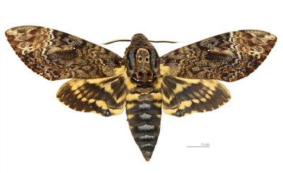 <strong>Death's head hawkmoth</strong>