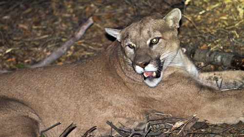 Male cyclist killed in cougar attack, friend bitten on the head