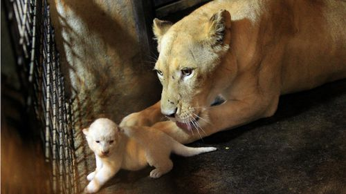 Rare white lion cubs born at Georgia zoo