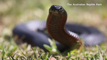 Venomous snake threat increases as weather warms up