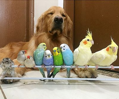 Four budgerigars, two finches and two cockatiels number among Bob's avian friends. (Instagram/bob_goldenretriever)