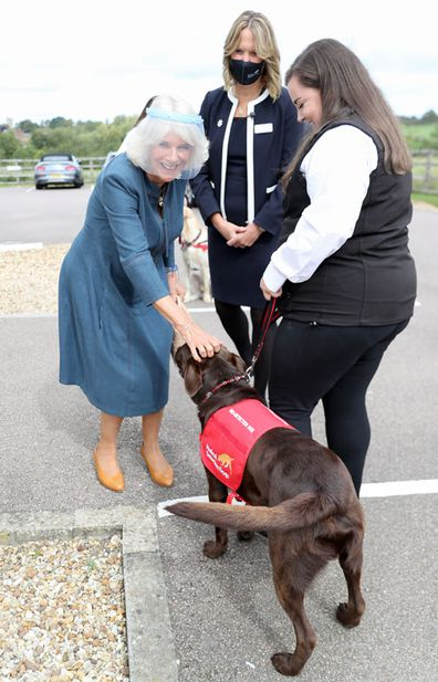 Camilla, Duchess of Cornwall, Patron of Medical Detection Dogs, meets Basil, a Chocolate Labrador, during a visit to the charity's training centre where trials are currently underway to determine whether dogs can act as a diagnostic tool of COVID-19 on September 09, 2020 in Milton Keynes, England.