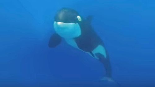 The Sydney teacher came face-to-face with a pod of killer whales last week (Rachel Stewart)