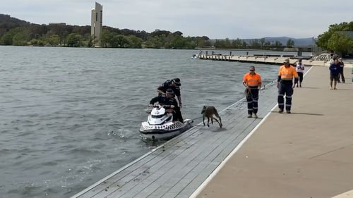 As soon as the police returned the kangaroo to solid ground, it jumped back in the lake.