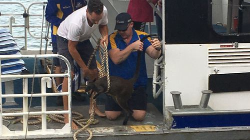 The wallaby finally made it onto the deck. (9NEWS)