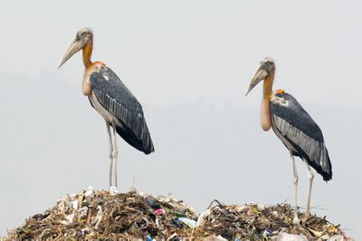 Greater adjutant