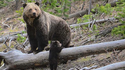 A grizzly bear and a cub in Yellowstone National Park.