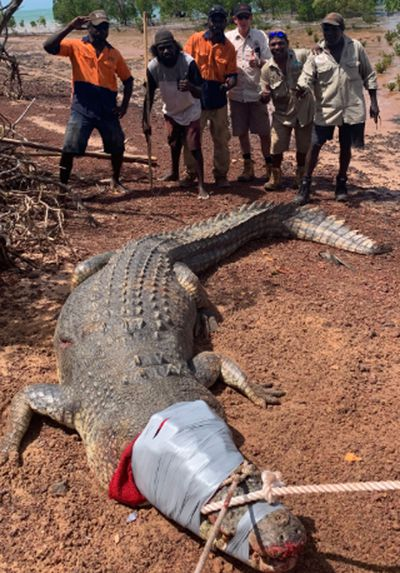 600kg crocodile which 'ate dogs' in NT held in jail cell
