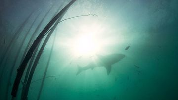 A shark glides past the perimeter of a Sharksafe Barrier test zone.