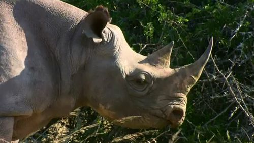 Rhinoceros could be relocated to Australia for a breeding and conservation project. (9NEWS)