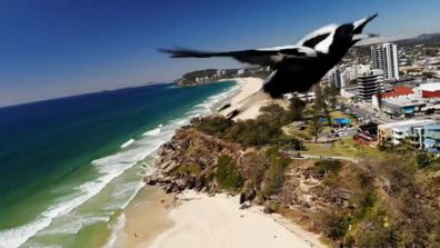 A drone camera has captured the moment a magpie swooped at it in the skies of North Burleigh.