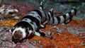 The leopard epaulette shark is a species of bamboo shark from the shallow ocean in the Milne Bay region of eastern Papua New Guinea.