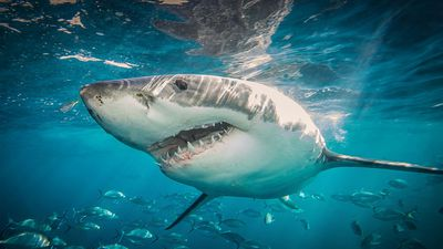 How Australia can stop shark attacks