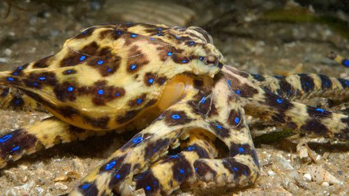 A Southern Blue-ringed Octopus (Hapalochlaena maculosa), in Port Phillip Bay, Victoria. (Julian Finn, Museums Victoria)
