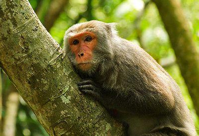 Formosan monkey coffee