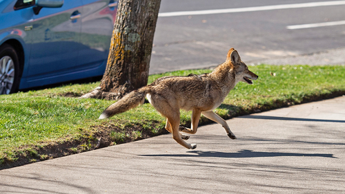 In this Feb. 26, 2020, file photo, a coyote runs on the sidewalk in midtown Sacramento, Calif. Animal control officers in northern California have determined that a growing population of urban coyotes is likely the culprit behind multiple discoveries of mutilated animal corpses. (Xavier Mascarenas/The Sacramento Bee via AP, File)