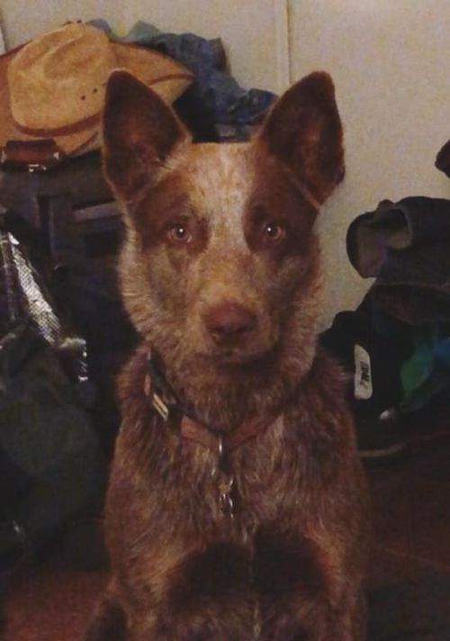 Flikr is a two-year-old rare chocolate pure bred blue heeler.