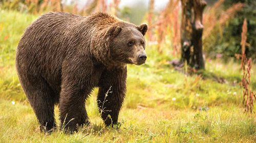 An Alaskan brown bear, like the one which mauled Allen Minish.