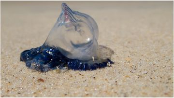 Researchers in Queensland have concluded the recent incerase in bluebottles hitting our beaches is due to a combination of wind, waves and currents pushing them near the shore.