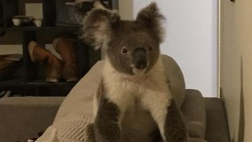 Homeowner wakes to find curious koala sitting on their sofa