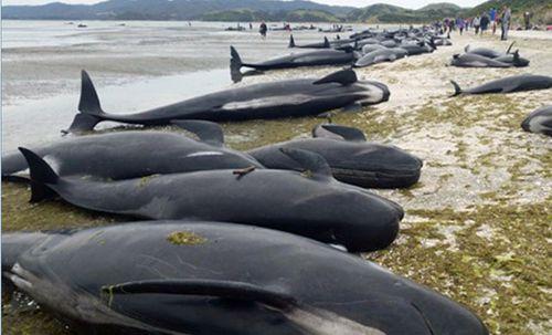 Hundreds of whales dead on NZ beach