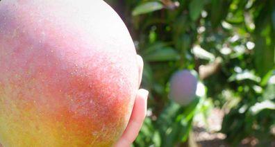 Ripe mango saved from falling