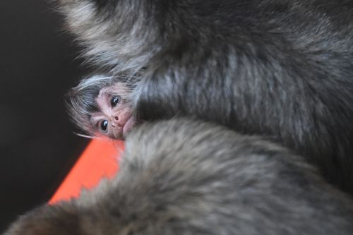 The baby spider monkey is the first of its kind to be born at the zoo in seven years. (AAP)