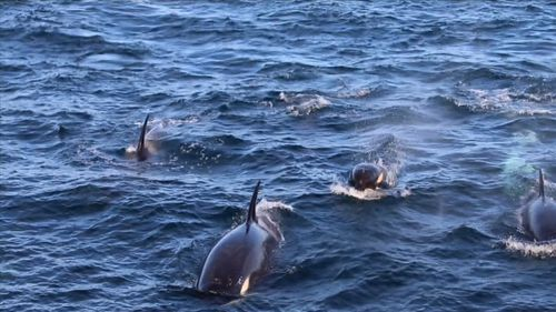 A pod of 50 killer whales spotted off Botany Bay in Sydney, which is a rare sight. Picture: 9NEWS