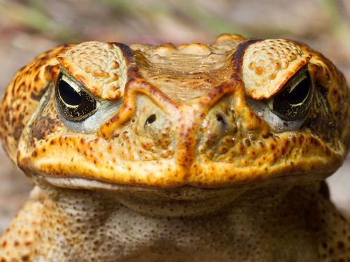 Cane toads have had huge impacts on native animals, particularly in Queensland, after being introduced from Hawaii in 1935 in a failed bid to eradicate beetles.