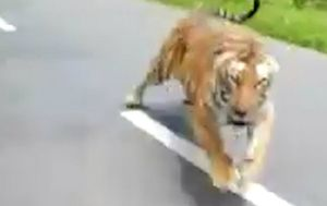 Terrifying video shows tiger racing after motorbike