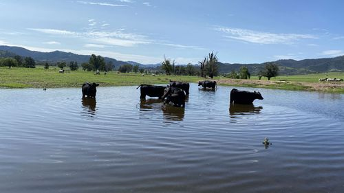 Stud heifers on Cherilyn Lowe's Moonbi property enjoy a dip in the dam for the first time.