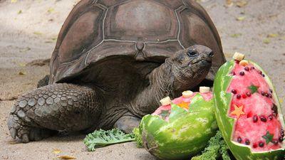 A tortoise enjoyed a festive watermelon.