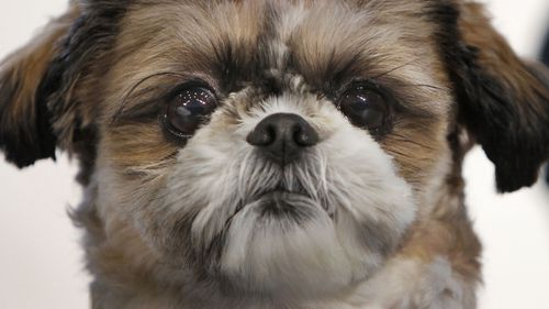 Emma was a healthy Shih Tzu like this dog, before she was put down to be buried with her owner.