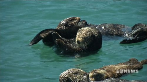 California sea otters are still threatened by oil spills and pollution.