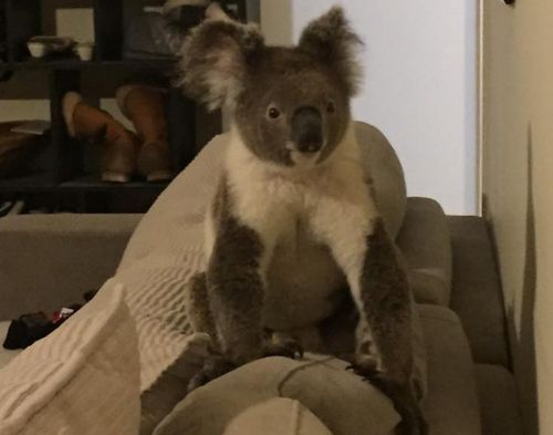Gold Coast resident wakes to koala casually sitting on sofa