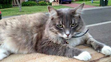 Muffin is one of several cats to have vanished in the Illawarra town of Shellharbour.  (Facebook)