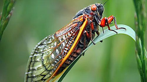Cicada on leaf (Getty)