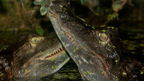 Crocodiles 'Snap' and 'Crackle' stolen from mobile zoo in Sydney